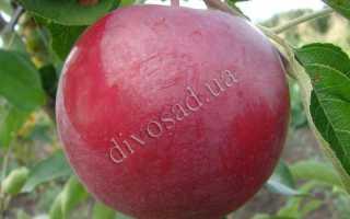 Яблоня Белла Виста — описание сорта, фото, отзывы