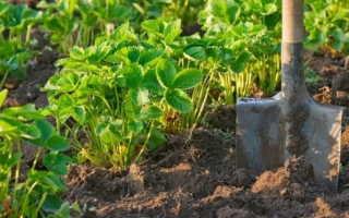 Как подготовить почву для посадки клубники?