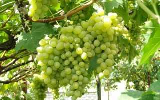 Посадка и уход за виноградом в Белгородской области