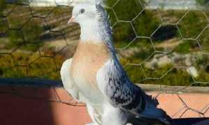 Голуби турецкой породы Такла (20 фото): описание породы, разновидности окраса и их названия, достоинства и недостатки птицы