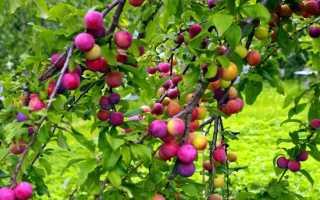 Алыча Колоновидная Империал — описание сорта, фото и отзывы садоводов