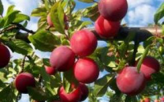 Алыча Красный Шар — описание сорта, фото и отзывы садоводов
