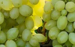 Виноград Столетие: описание сорта, фото и отзывы садоводов