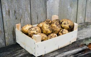 Какая картошка лучше хранится — красная или белая?