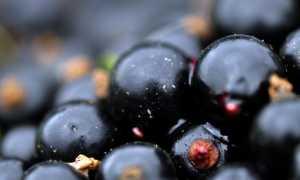 Лучшие сорта черной смородины для Подмосковья с фото и описанием