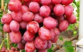 Виноград Дюжина: описание сорта, фото и отзывы садоводов
