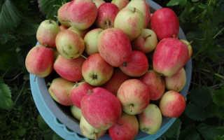 Летний сорт яблони полосатой: фото, отзывы, описание, характеристика