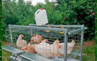 Содержание кур в клетках – плотность посадки, кормление, породы