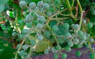 Мильдью и оидиум на винограде — меры комплексной борьбы