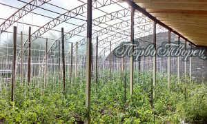 Урожайность помидор в теплице с 1 квадратного метра