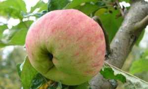 Избранная яблоня: описание сорта и характеристики
