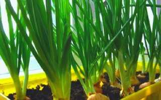 Как в домашних условиях вырастить лук?