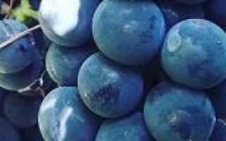 Виноград Изабелла: описание сорта, фото и отзывы садоводов
