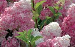 Гортензия в Сибири (66 фото): посадка и уход, гортензия плетистая и другие виды, размножение и популярные сорта садовой гортензии