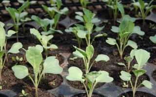 Как вырастить семена капусты самостоятельно?