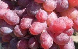 Виноград Байконур: описание сорта, фото и отзывы садоводов