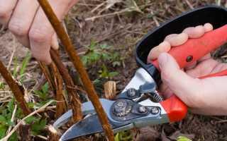 Как рассадить жимолость весной?