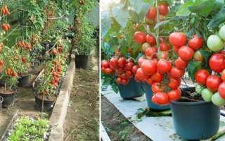 Выращивание томатов ведрами в открытом грунте, теплице: ВСЕ тонкости