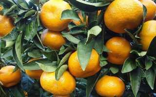 Почему у мандарина опадают, вянут и желтеют листья, что делать, если мандарин в домашних условиях опадал все листья