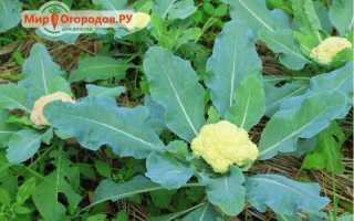 Как растет цветная капуста?