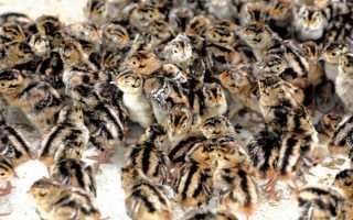Кормление фазанов в домашних условиях: нормы и рацион