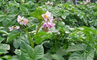 Надо ли обрывать цветки у картофеля во время цветения?