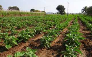 Какаая урожайность баклажан с 1 га?