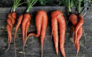 Почему морковь трескается вдоль и рогатая?