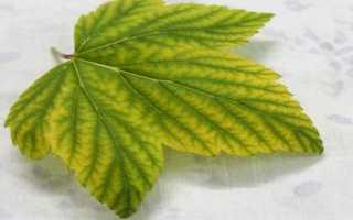 У смородины светлые листья — чем нужно подкормить?
