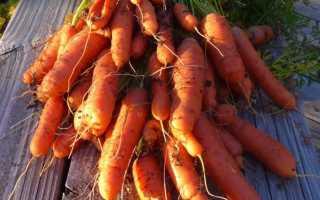 Посадка моркови на семена осенью