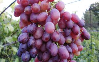 Виноград Лучистый: описание сорта, фото и отзывы садоводов