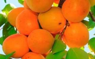 Обзор и выращивание лучших ранних сортов абрикоса