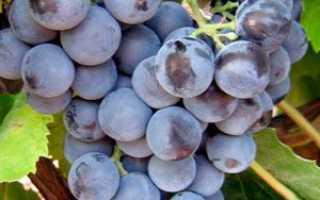 Виноград Юодупе: описание сорта, фото и отзывы садоводов