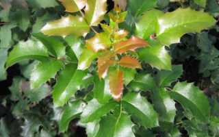 Магония падуб: уход, выращивание и защита от болезней