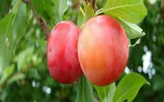 Алыча Румяное Яблочко — описание сорта, фото и отзывы садоводов