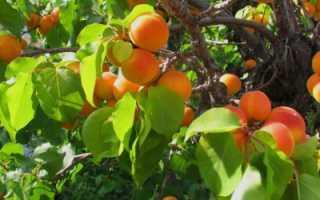 Когда пересаживать абрикос?