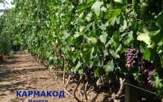 Виноград Кармакод: описание сорта, фото и отзывы садоводов