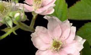 Ежевика Лох Мери — описание сорта, характеристика, выращивание, фото и отзывы