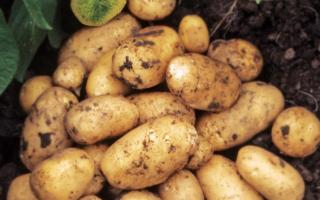 Картофель Гренада — описание сорта, фото, отзывы, посадка и уход