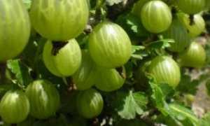 Крыжовник Донецкий Крупноплодный — описание сорта, фото и отзывы садоводов
