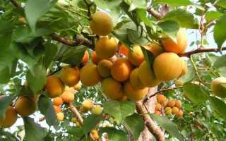 Схема обрезки абрикоса летом