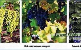 Посадка и уход за виноградом в Новосибирске