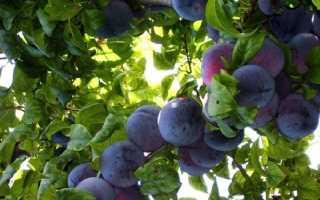 Слива Анжелина — описание сорта, фото, отзывы садоводов
