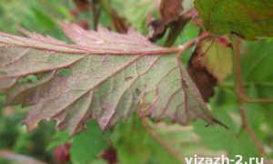 У ежевики желтеют листья — что делать?