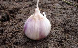Выращивание ярового чеснока в открытом грунте
