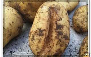 Почему картошка трескается и становится уродливой?