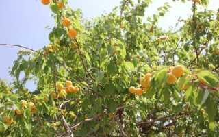 Усыхание веток абрикоса — как бороться?
