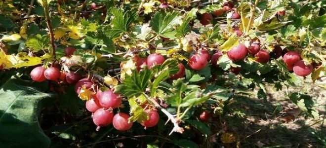 Крыжовник Уральский Розовый — описание сорта, фото и отзывы садоводов