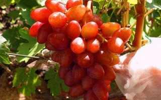 Виноград Алладин: описание сорта, фото и отзывы садоводов