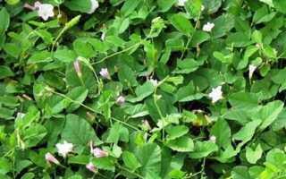 Как избавиться от травы березка в огороде на картошке?